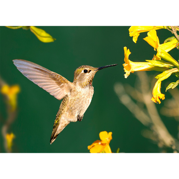 Anna's Hummingbird  3D Action Lenticular Postcard Greeting Card