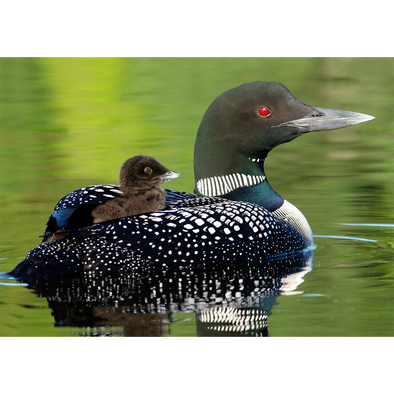 Baby Common Loon - 3D Lenticular Postcard Greeting Card