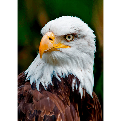 Bald Eagle Face - 3D Lenticular Postcard Greeting Card