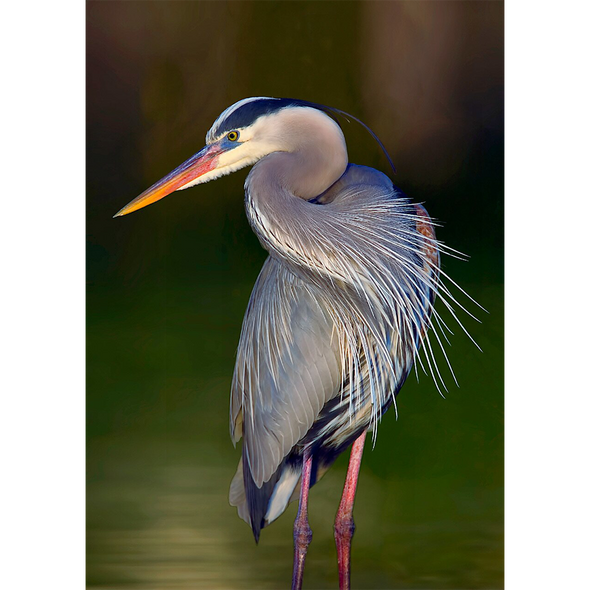 Great Blue Heron - 3D Lenticular Postcard Greeting Card