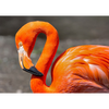 Flamingo - 3D Action Lenticular Postcard Greeting Card