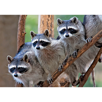 A gaze of Raccoons - 3D Lenticular Postcard Greeting Card