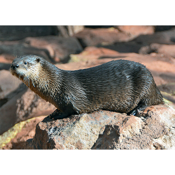 River Otter - 3D Lenticular Postcard Greeting Card