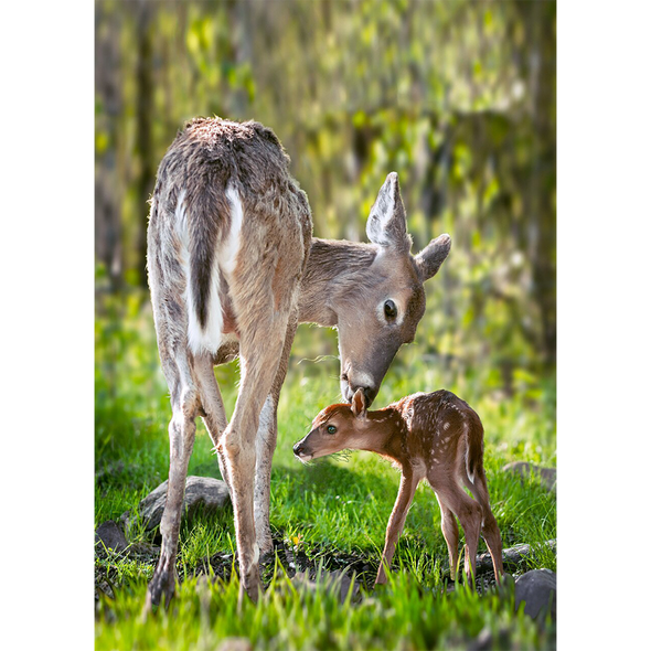 White-Tailed Deer - 3D Lenticular Postcard Greeting Card
