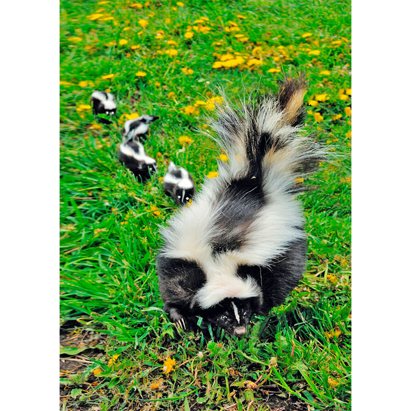 Striped Skunk Family - 3D Lenticular Postcard Greeting Card