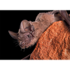Mexican Free-Tailed Bat - 3D Lenticular Postcard Greeting Card