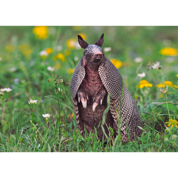 Nine-Banded Armadillo - 3D Lenticular Postcard Greeting Card