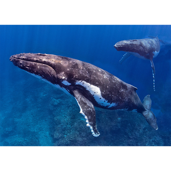 Humpback Whale with Partner- 3D Lenticular Postcard Greeting Card