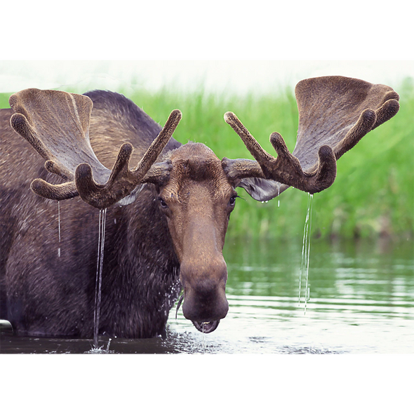 Moose in Pond - 3D Lenticular Postcard Greeting Card