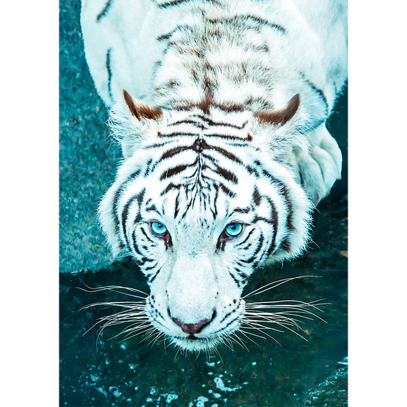White Bengal Tiger - 3D Lenticular Postcard Greeting Card
