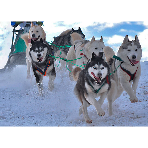 Sled Dogs - Alaska - 3D Lenticular Postcard Greeting Card