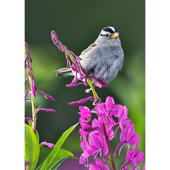 Sparrow on Fireweed - 3D Lenticular Postcard Greeting Card