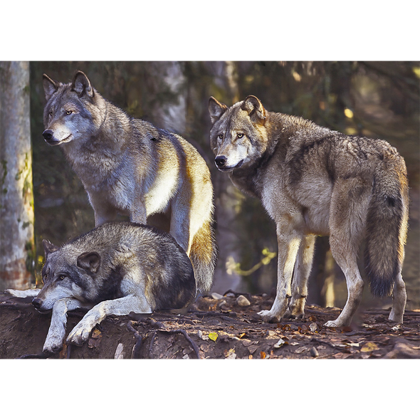 Wolf Pack - 3D Lenticular Postcard Greeting Card