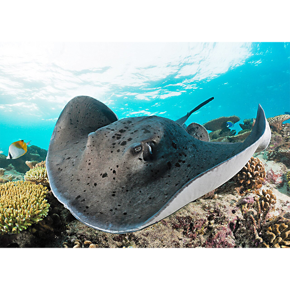 Stingray - 3D Lenticular Postcard Greeting Card