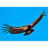 California Condor - 3D Action Lenticular Postcard Greeting Card