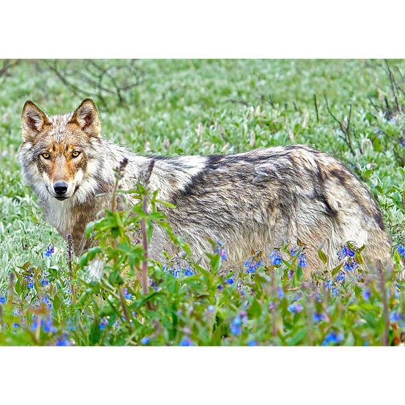 Wolf and Forget-me-nots - 3D Lenticular Postcard Greeting Card