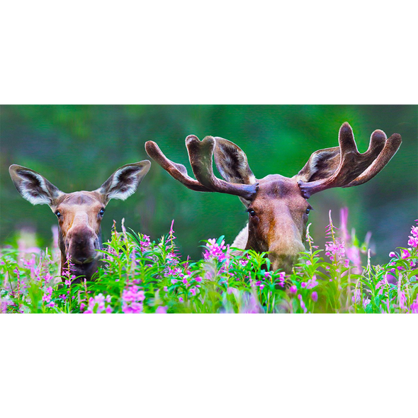 Moose in Fireweed - 3D Lenticular Postcard Greeting Card - Oversize