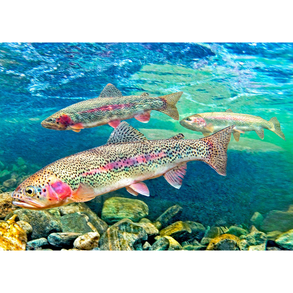 Rainbow Trout - 3D Lenticular Postcard Greeting Card