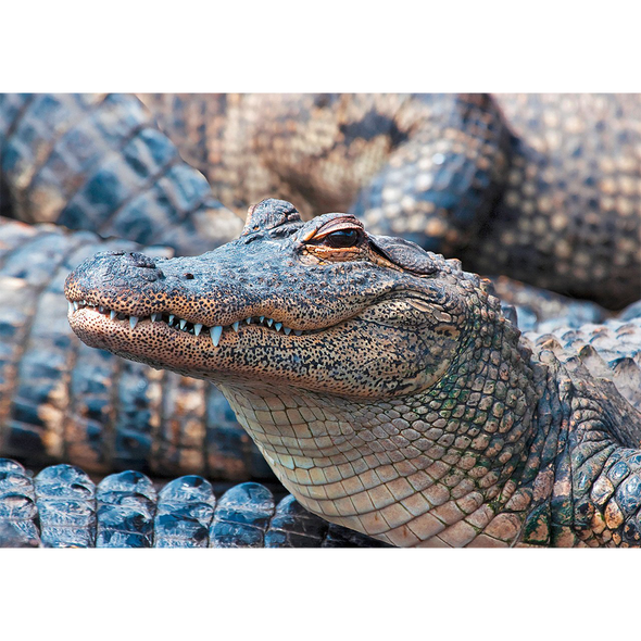 American Alligator 2 - 3D Lenticular Postcard Greeting Card