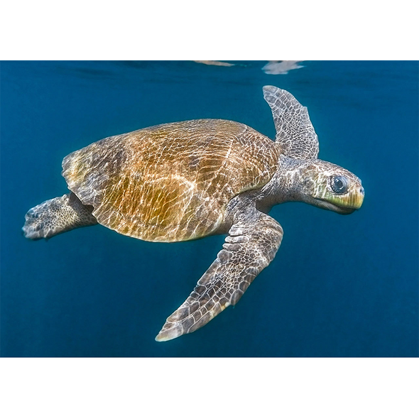 Olive Ridley Sea Turtle - 3D Action Lenticular Postcard Greeting Card