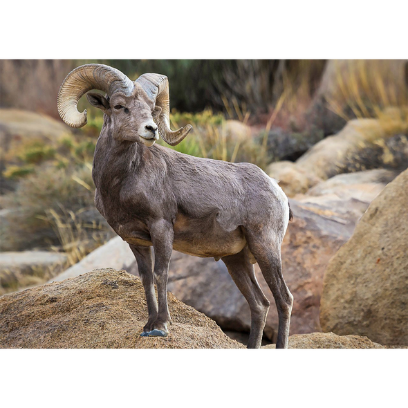 Desert Bighorn Sheep - 3D Lenticular Postcard Greeting Card