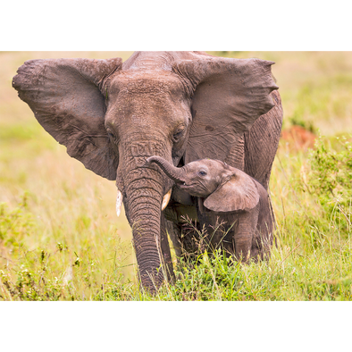 Animal Postcard - African Elephant and calf