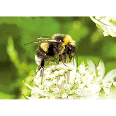 Bumblebee Collecting Nectar - 3D Lenticular Postcard Greeting Card