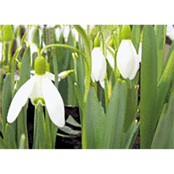 White Snowdrop - Flowers - 3D Lenticular Postcard Greeting Card