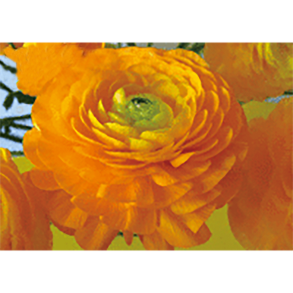 Buttercup - Flower - 3D Lenticular Postcard Greeting Card