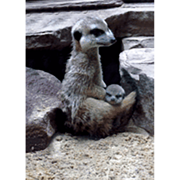 Meerkat or Suricate - 3D Lenticular Postcard Greeting Card