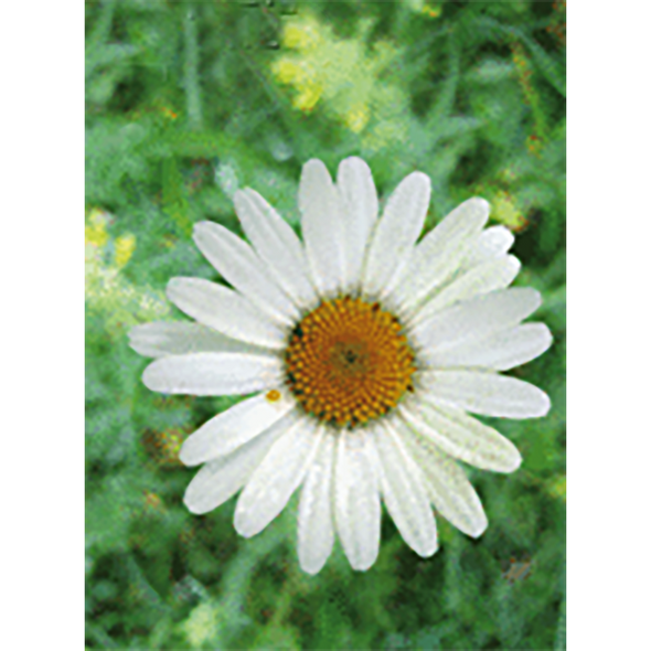 Oxeye Daisy - Flowers - 3D Action Lenticular Postcard Greeting Card
