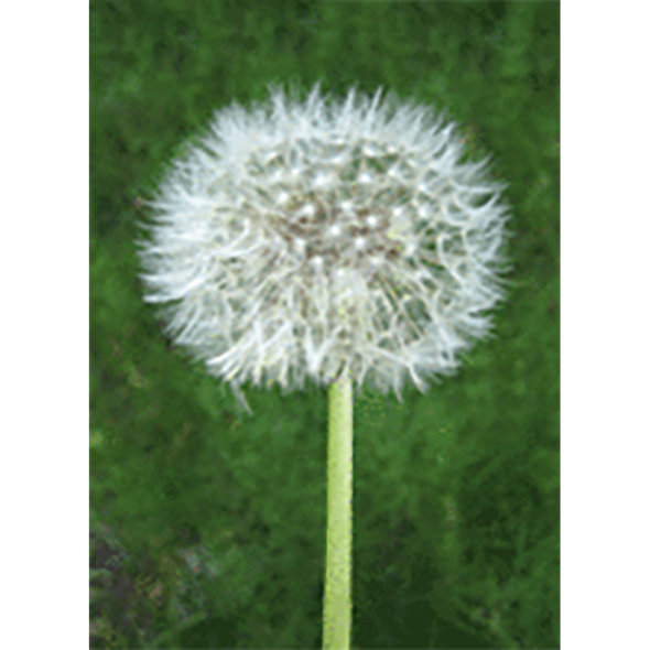 Dandelion Animated - Gets Blown Away - 3D Action Lenticular Postcard Greeting Card