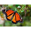 Monarch Butterfly Beating Wings - 3D Action Lenticular Postcard Greeting Card