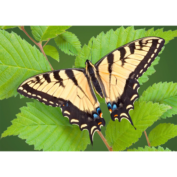 Swallowtail Butterfly  - 3D Lenticular Postcard Greeting Card