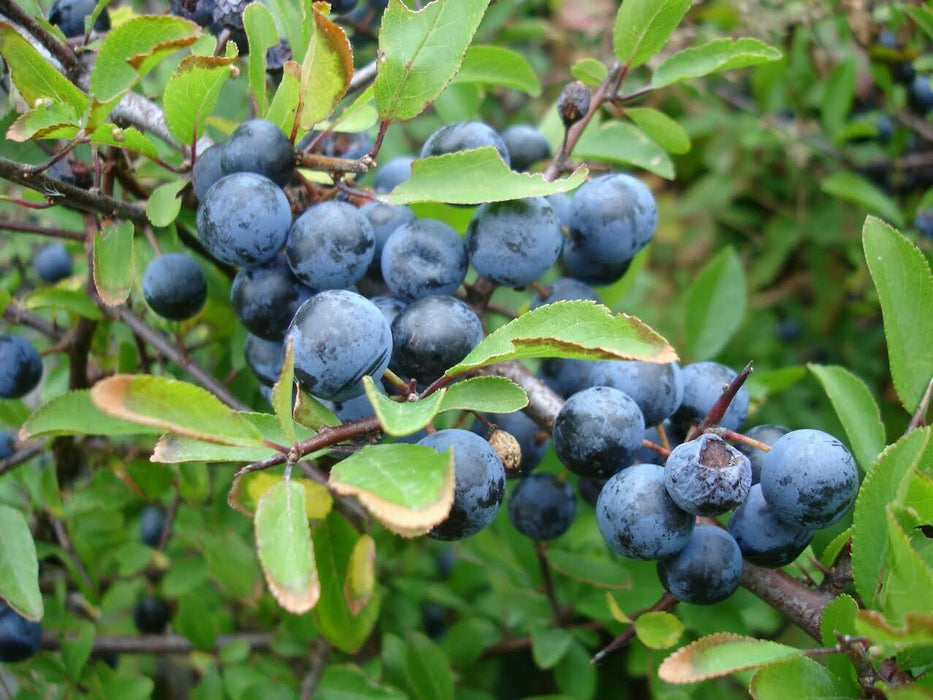 Blackthorn Sloe Berry