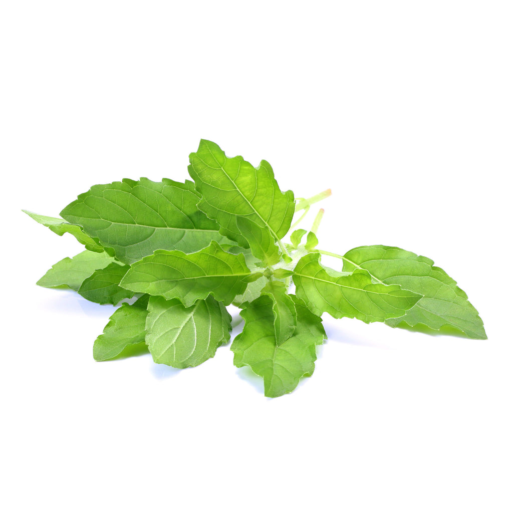 Fresh Thai holy basil 100g - Imported weekly from Thailand