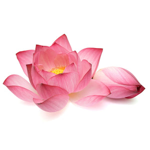 FResh Thai Lotus Flower (Pink) - 10 Stems