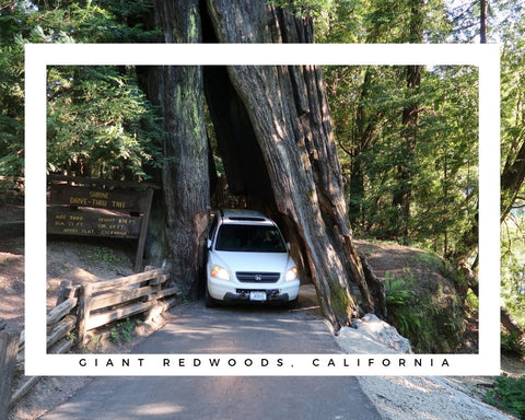 giant redwoods