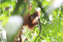 Load image into Gallery viewer, Sumatra Orang Utan Coffee Project