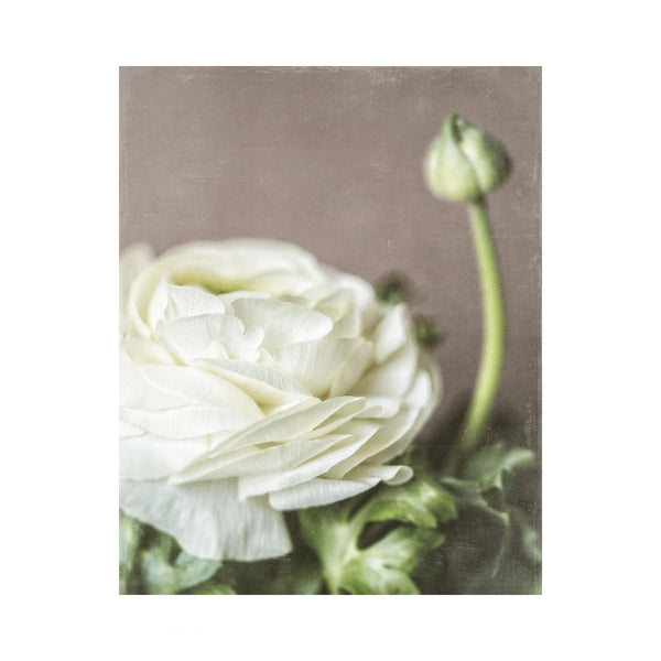 Lisa Russo Fine Art Nature Photography Ivory Ranunculus