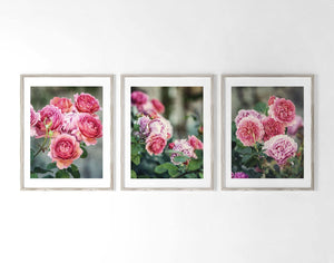 Lisa Russo Fine Art Nature Photography Pink Scotland Roses • Set of 3