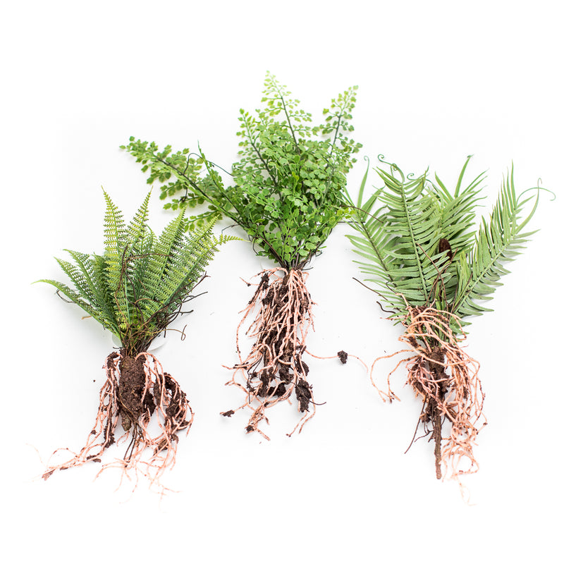 Raw Ferns W/ Roots