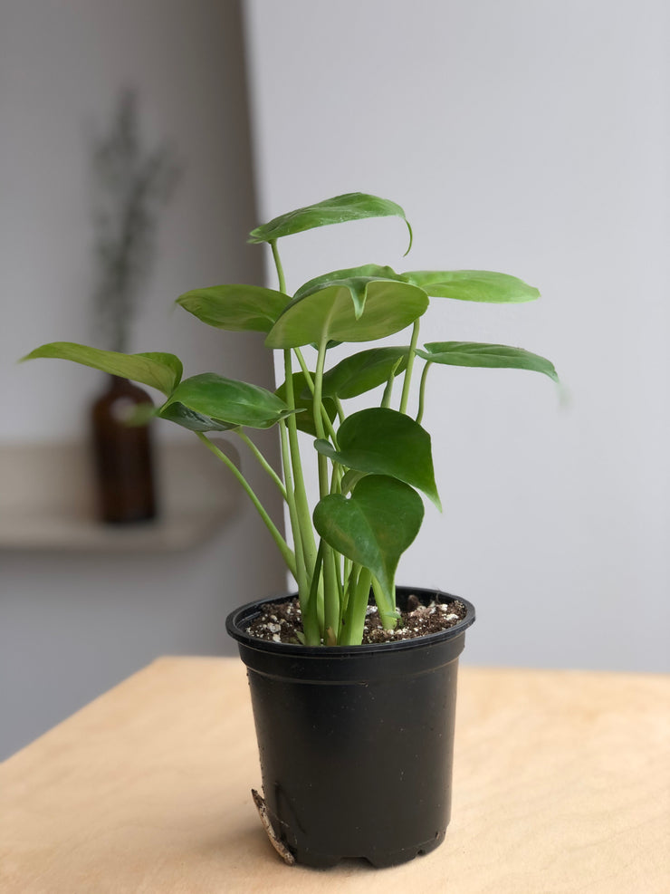 Philodendron Monstera - 4 po