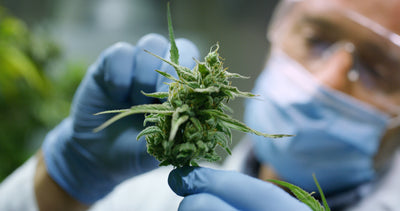 What You Need to Know about Cannabis and Coronavirus