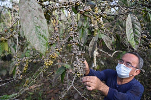 Craters and Cups: A Volcanic Eruption's Impact on Coffee