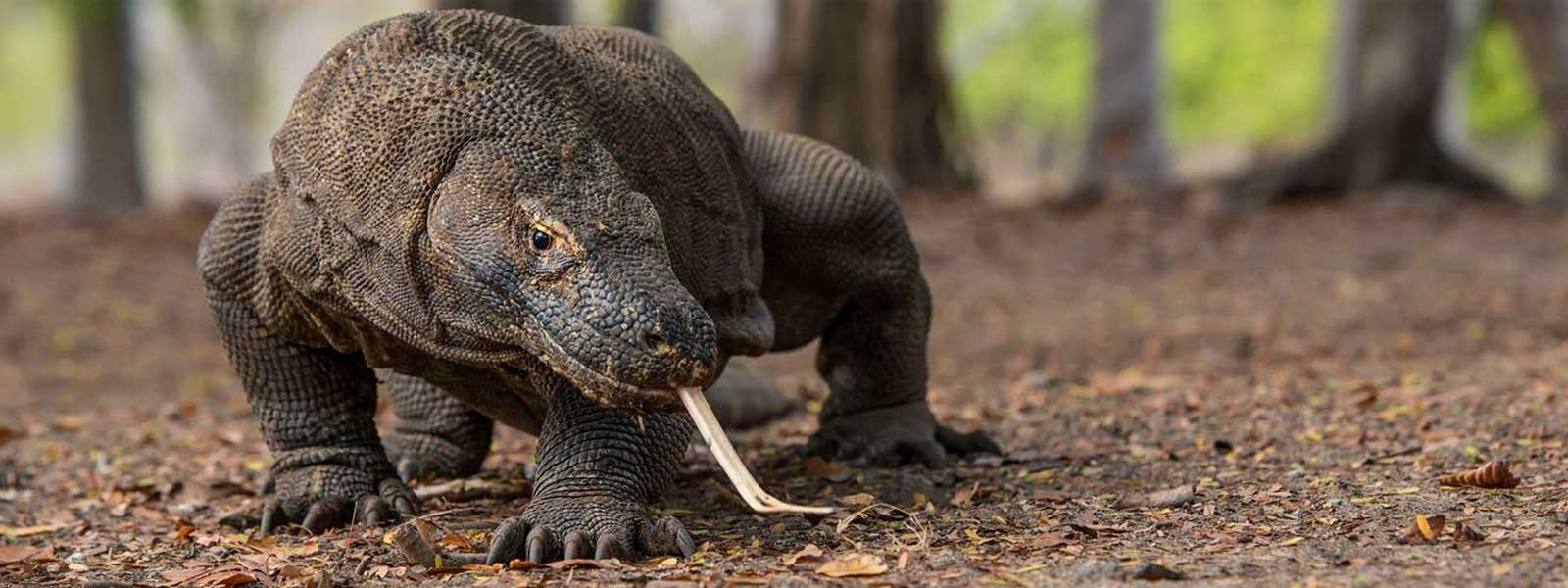Komodo dragon hunting