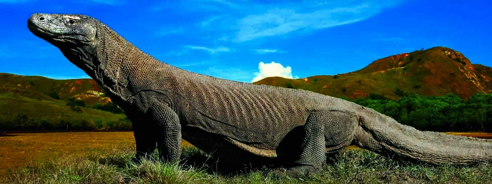 Endangered Komodo Dragon