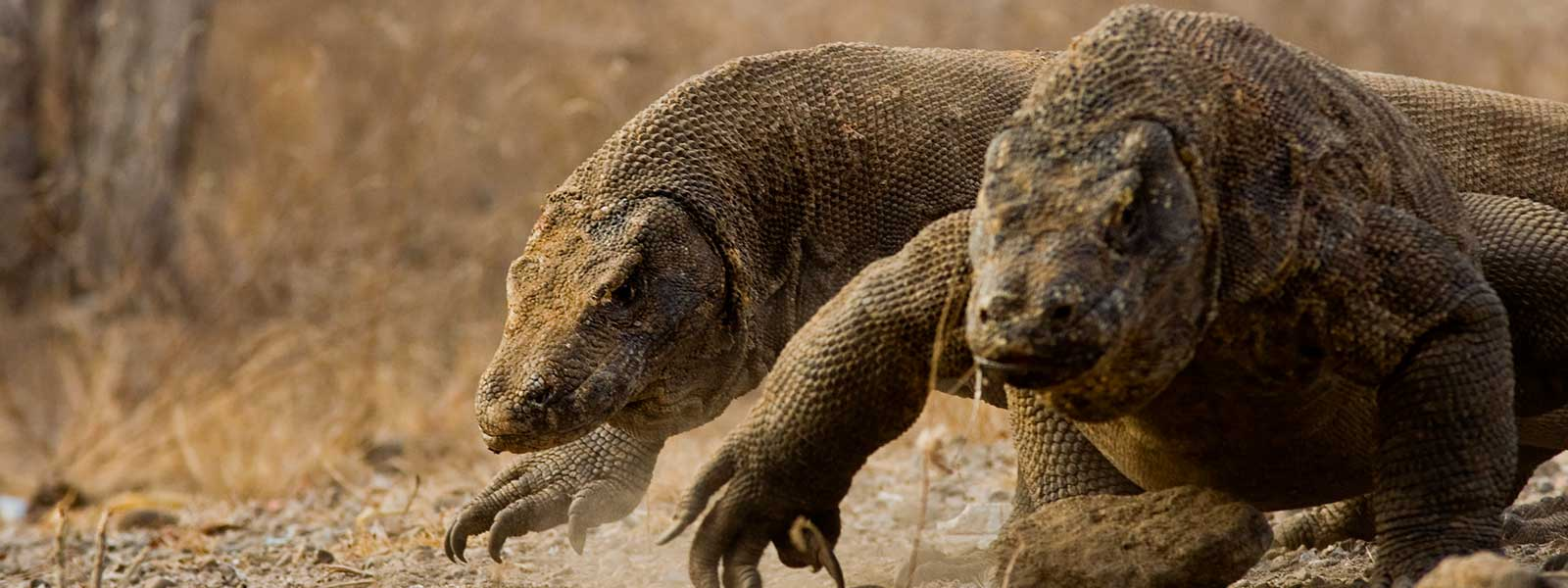Komodo Dragon population