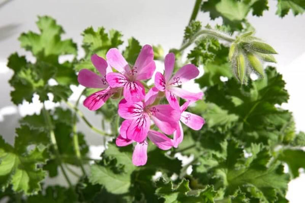 Essential Essence of the Week: Geranium Oil