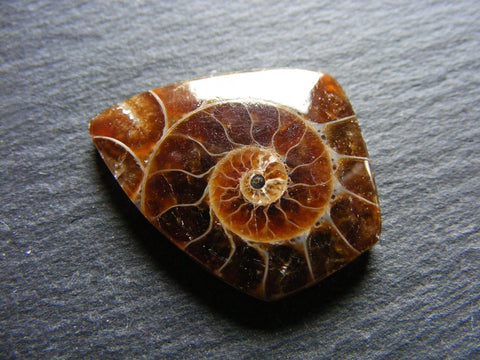 Ammonite Fancy Cab